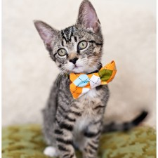 tiger striped kitten with a bow tie