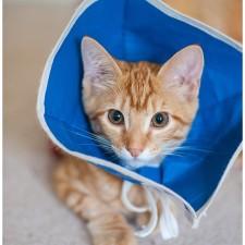 orange tabby kitten with cone